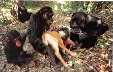 scimpanze-carnivori